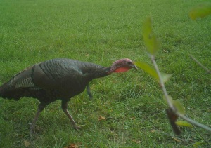 Young gobbler walked by this blind shortly before season