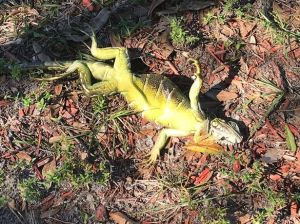 Iguana fallen out of tree