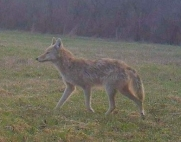 Coyote from my Trail Cam